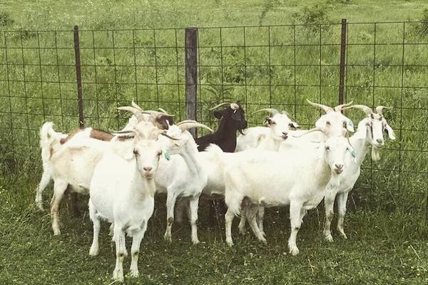 The popular goats of Goebel Park help weed out invasive plantlife.